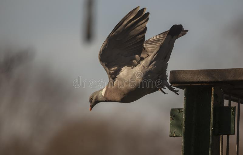 Wood Pigeon In flight. Wood Pigeon taking off a hand railing nat sunset stock photography