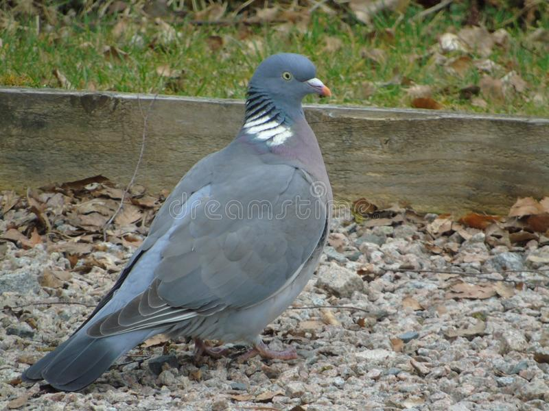 Wood pigeon in gravel. Wood pigeon or white collared dove standing in gravel road in Aberdeenshire stock photos
