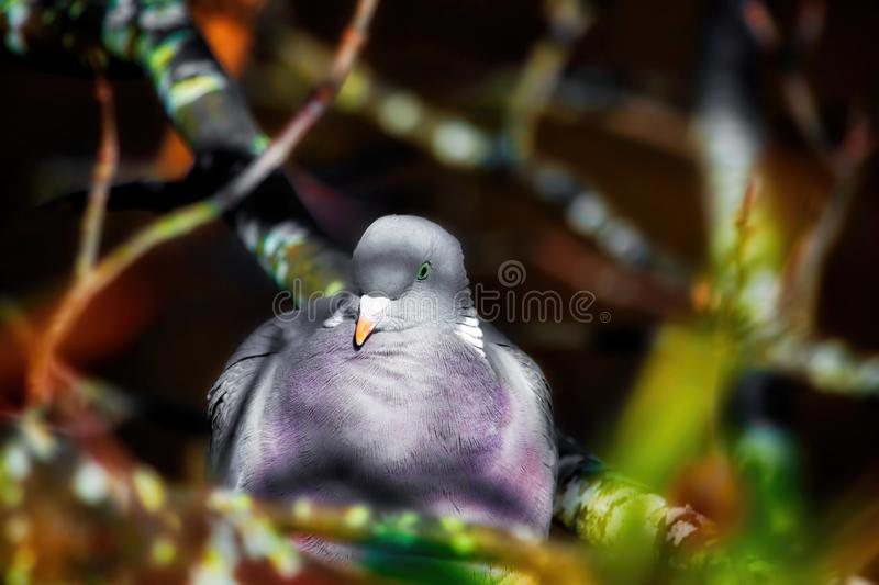 Wood pigeon perched in a tree. Enjoying soft morning sunshine stock photo