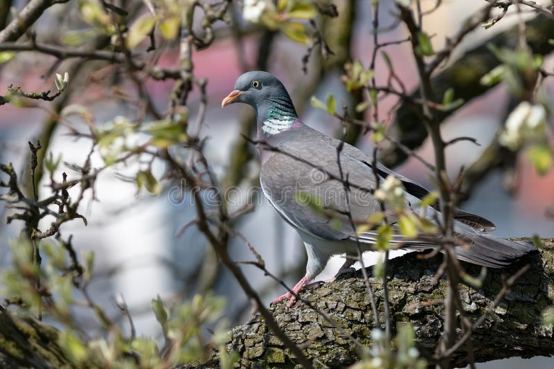 Wood pigeon perching on tree among thin branches. Common wood pigeon Columba palumbus is big grey dove with with pinkish breast and with white on neck and wings stock image
