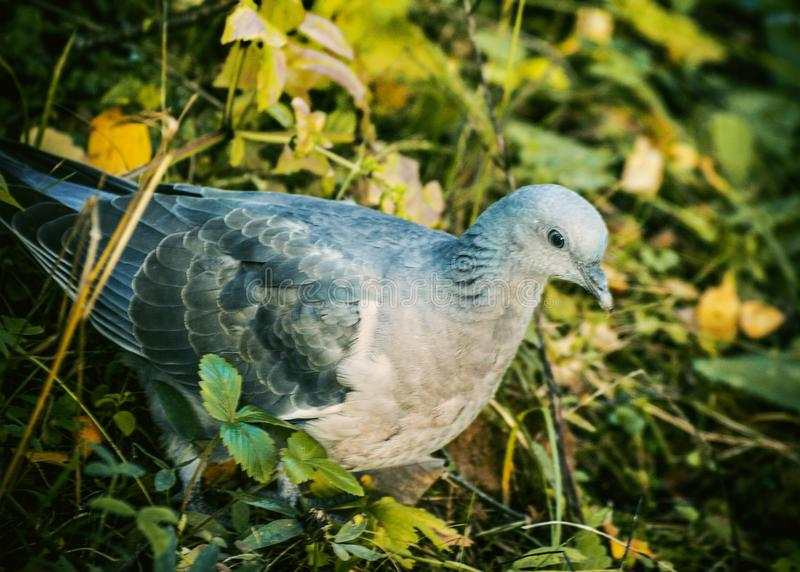 The wood dove royalty free stock photos