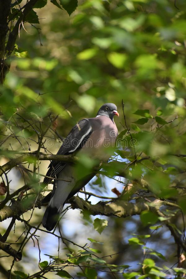 Wood pigeon. Russia royalty free stock photos