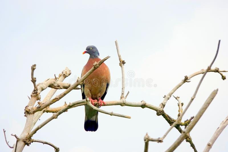 Wood pigeon sitting on branch of dead tree royalty free stock photo