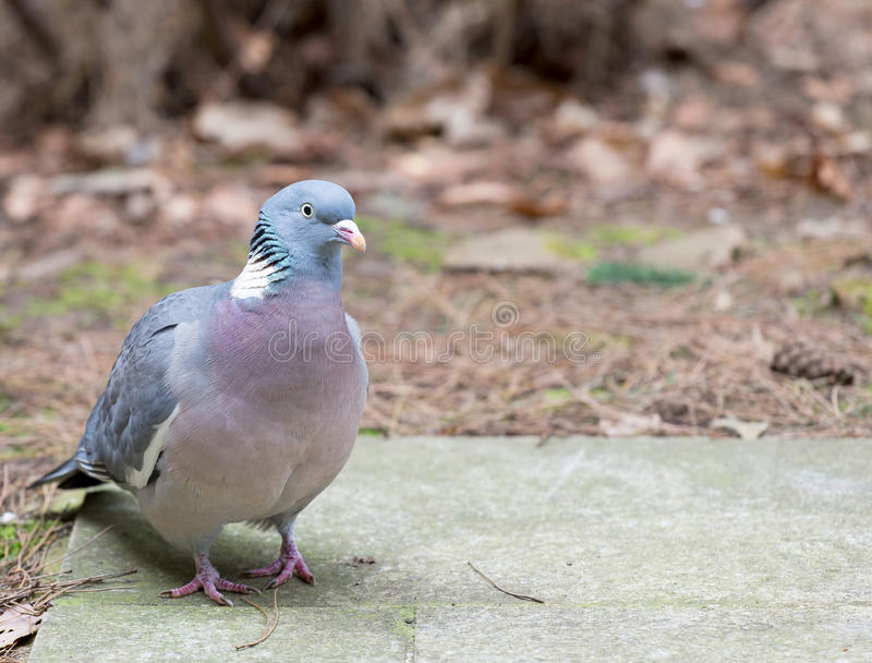Wood pigeon standing on a concrete slab stock image