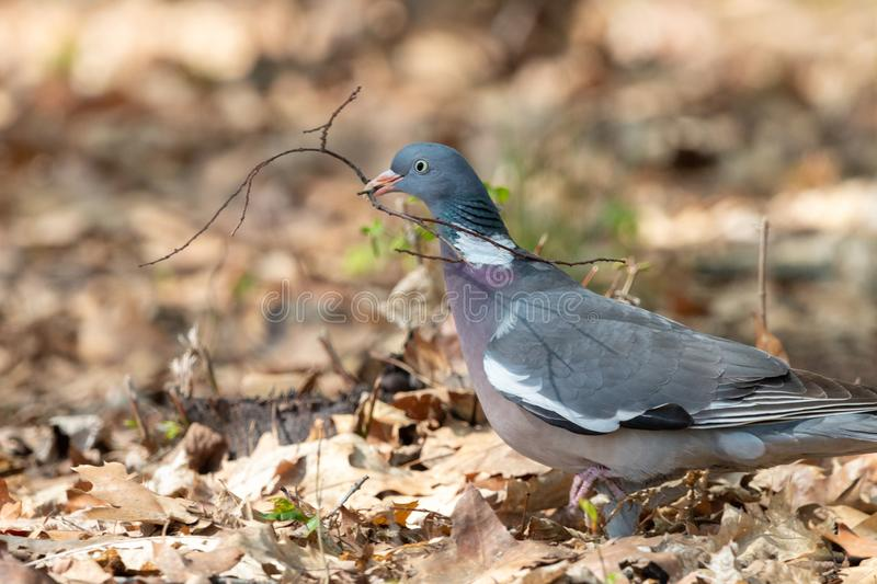 Wood pigeon with thin twig in beak. Common wood pigeon Columba palumbus collecting nest material in spring forest. Big grey dove with with pinkish breast and stock image
