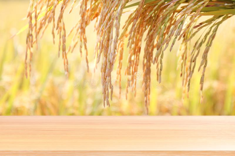 Wood plank on rice seed gold grain plantation background, empty wood table floors on field rice plant paddy farm, wood table board royalty free stock photography