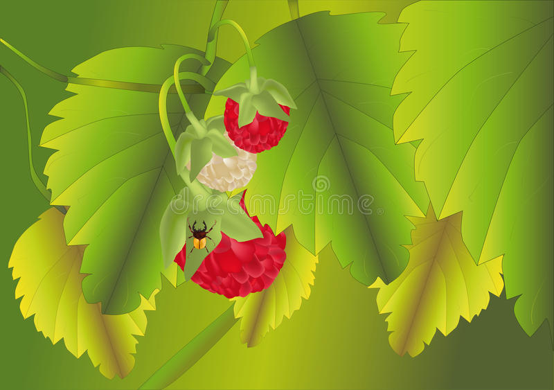 Wood red raspberry stock illustration