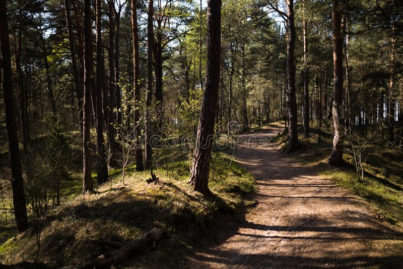Wood road - Baltic eastern europe pine forest with high old evergreen trees pointing up in the sky during a bright sunny stock photos