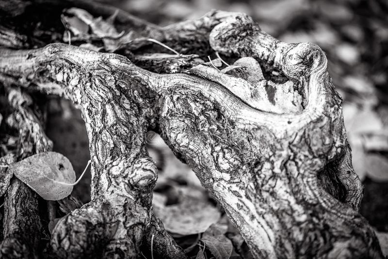 Wood root close-up in black and white. Tree texture in nature. Abstract view of old bark or branch in autumn park royalty free stock photos
