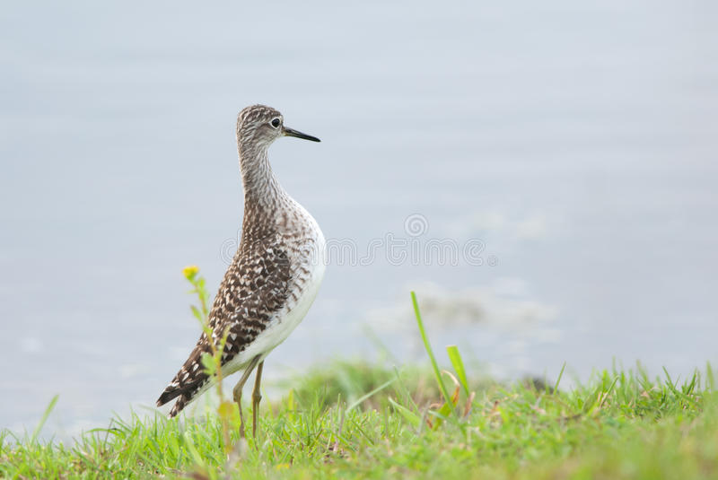 Wood Sandpiper. Stretching on a grassy shore stock image