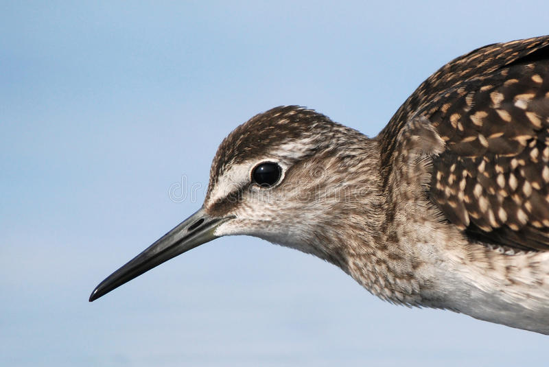 Wood Sandpiper portrait. Wood Sandpiper closeup, blue background royalty free stock photo