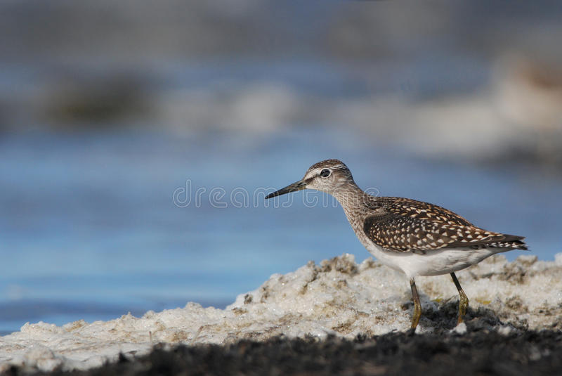 Wood Sandpiper with seafoam. Wood Sandpiper wading in seafoam stock photo