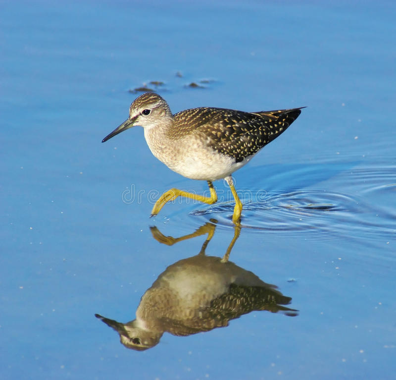 Wood Sandpiper (tringa glareola) royalty free stock images