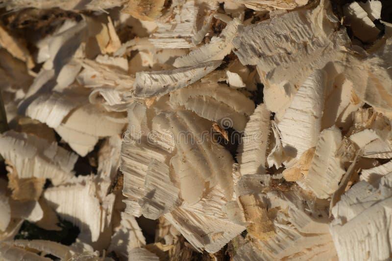 Wood shavings made by beaver stock image