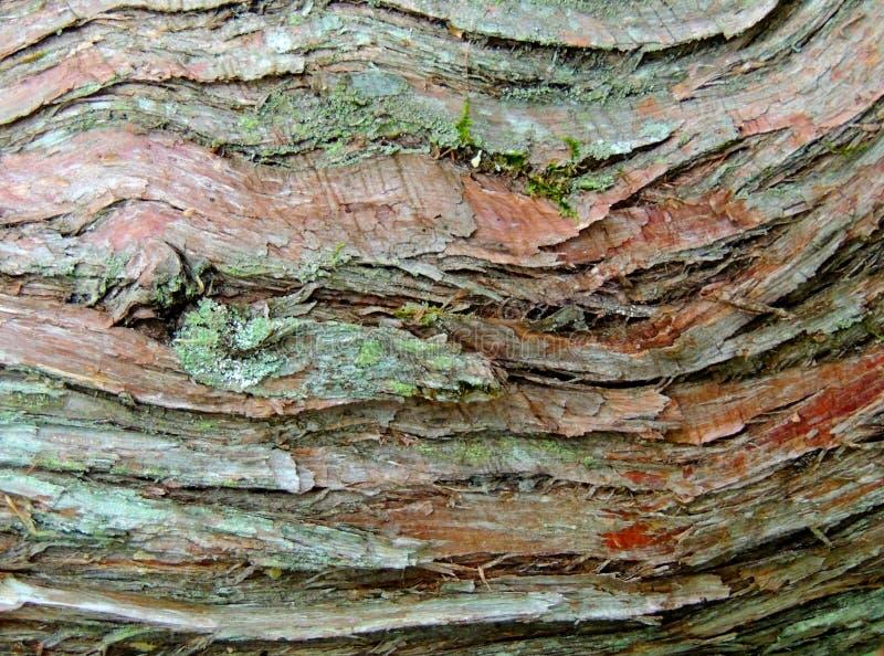 Wood skäll för cederträ arkivbilder