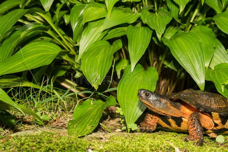 Wood sköldpadda royaltyfria bilder