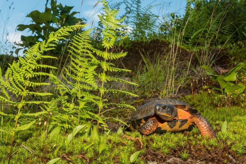 Wood sköldpadda arkivbilder