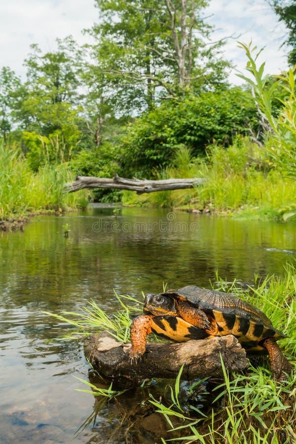 Wood sköldpadda royaltyfri bild