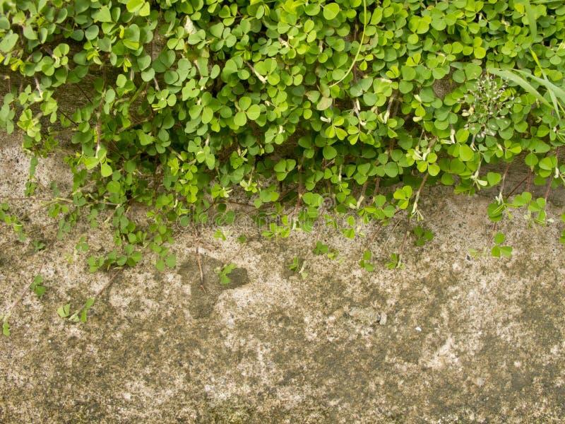 Wood sorrel eller Oxalis acetosella L. arkivbild