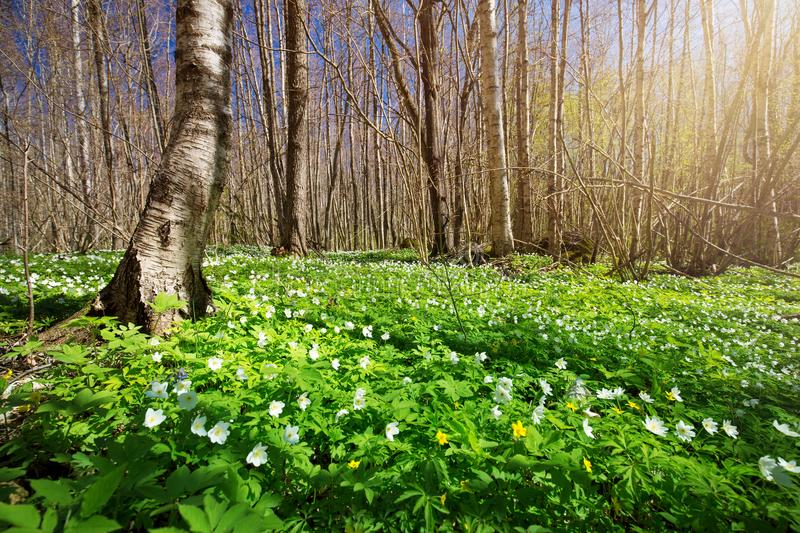 Wood with spring flowers royalty free stock image