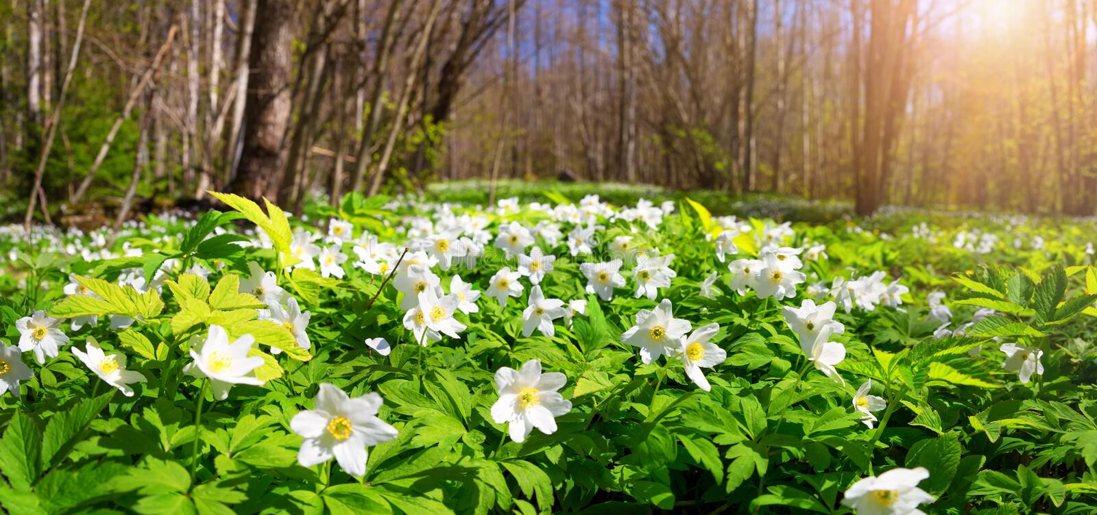Wood with spring flowers royalty free stock photography