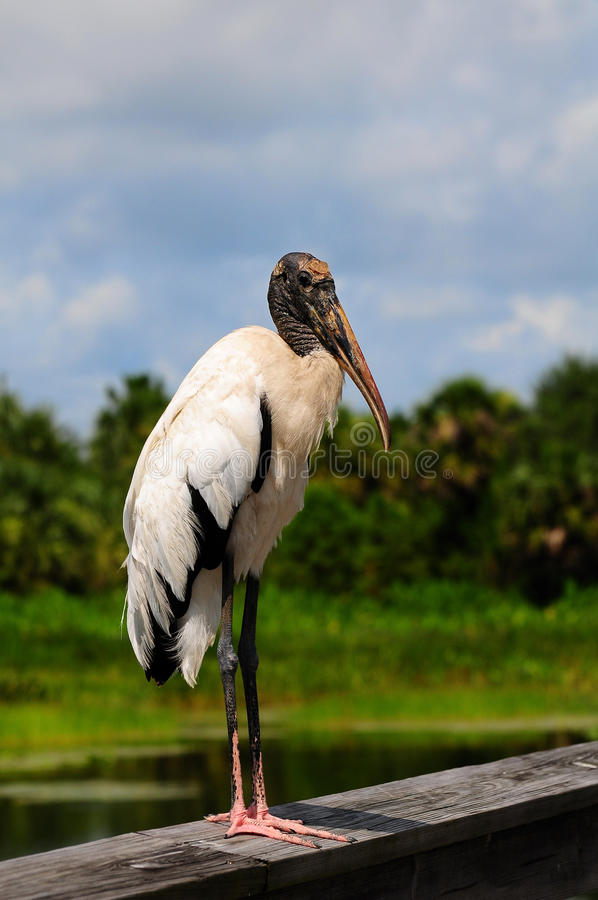 Wood Stork. A Wood Stork posing for the camera in a South Florida wetland stock photo