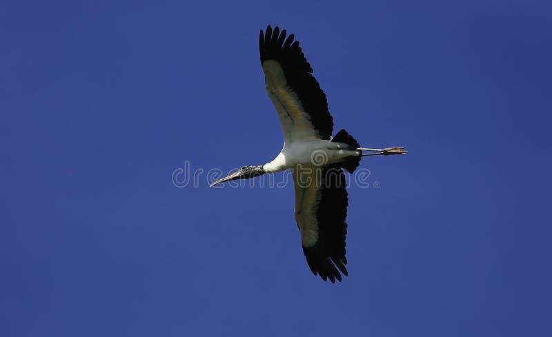 Wood Stork stock photography