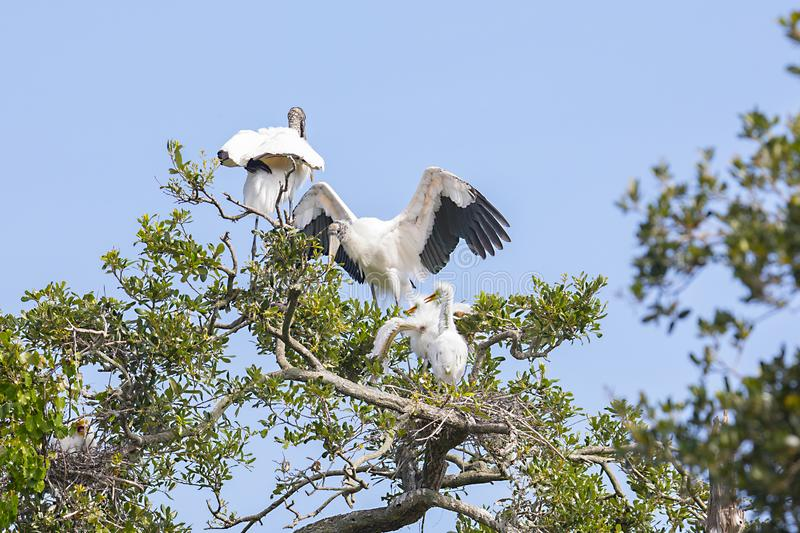 Wood Stork Arriving To Feed Her Young. Chicks at the top of a tree royalty free stock images