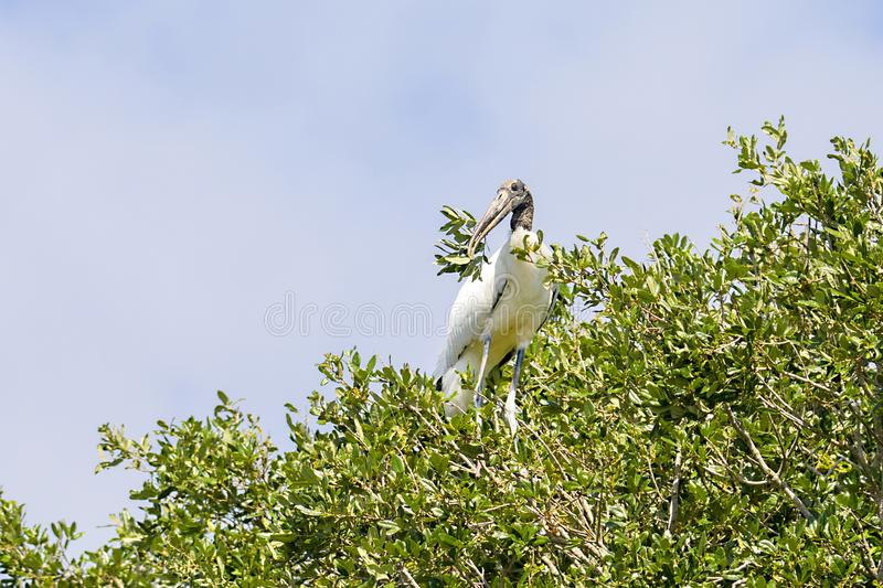 Wood Stork Breaking Off A Branch To Build Its Nest stock images