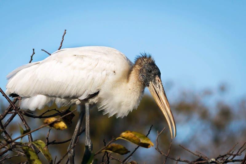 Wood Stork in breeding plumage royalty free stock photo