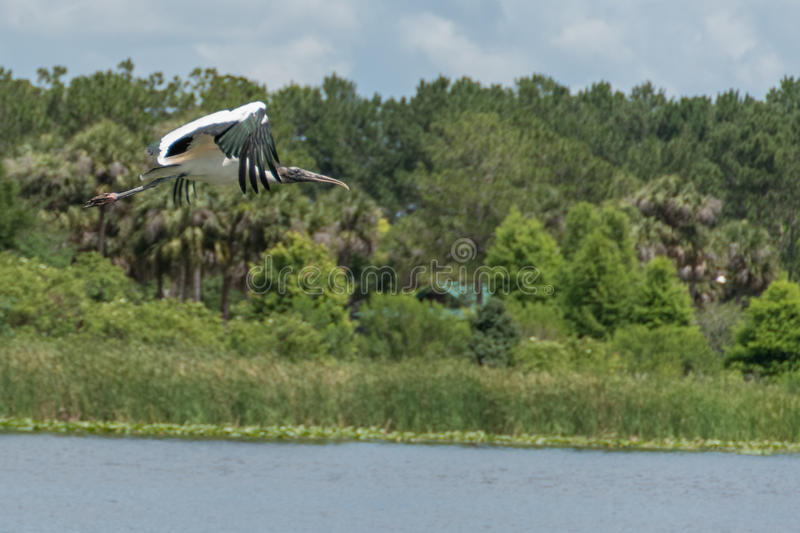 Wood stork in flight over water royalty free stock image