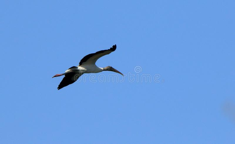 A wood stork flying by. One wood stork flying against a blue sky stock photo