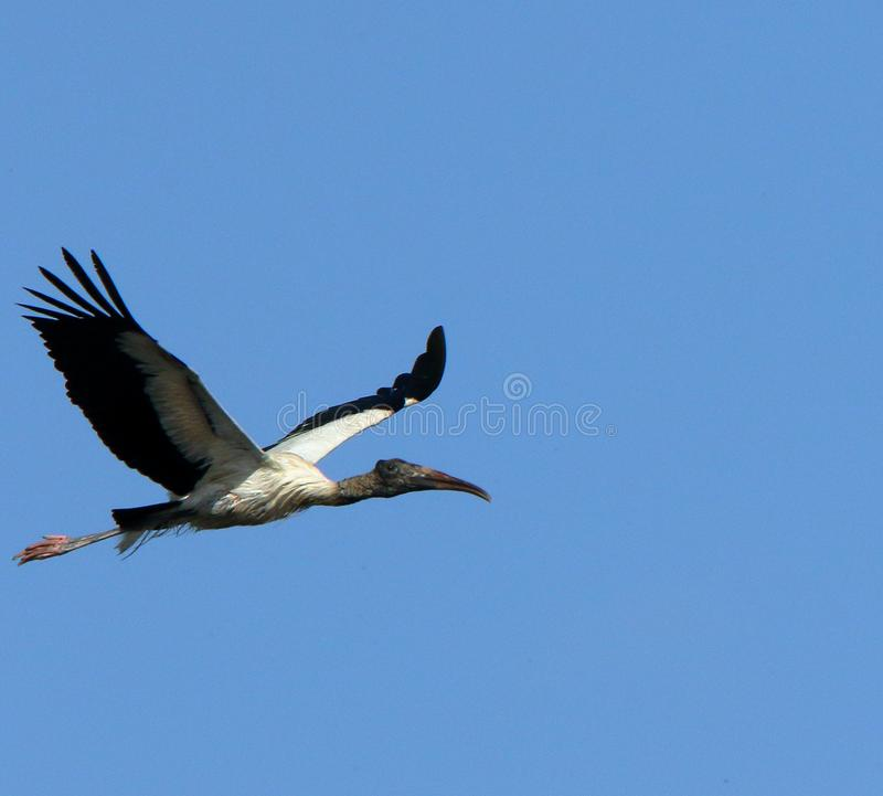 A wood stork flying by. One wood stork flying against a blue sky royalty free stock photo