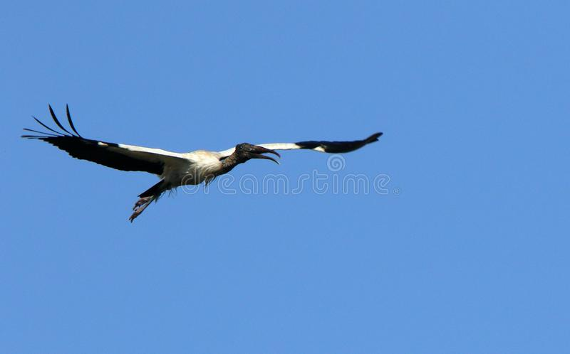 A wood stork flying by. One wood stork flying against a blue sky stock photography