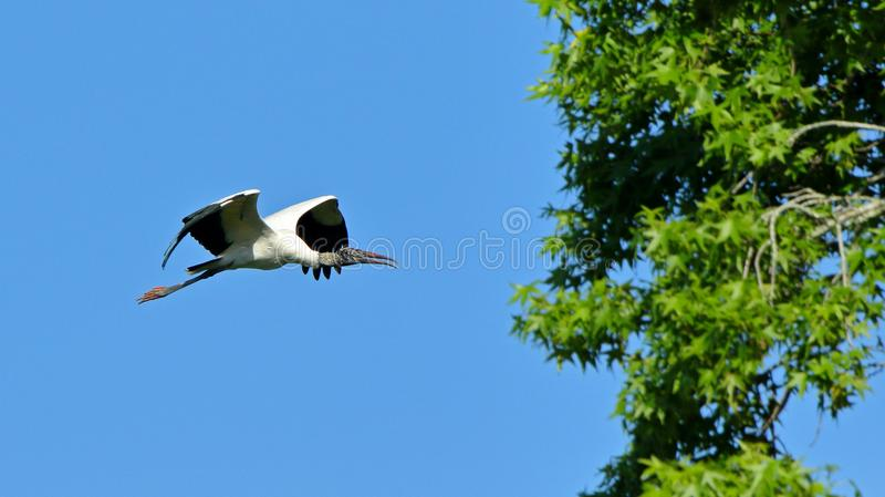 A wood stork flying by. One wood stork flying with a bllue sky royalty free stock photography