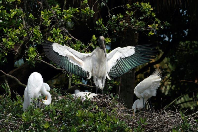Wood Stork guards its nest in Saint Augustine, Florida. Wood Stork - Mycteria americana - guards its nest in Saint Augustine, Florida with two Great Egrets stock photos
