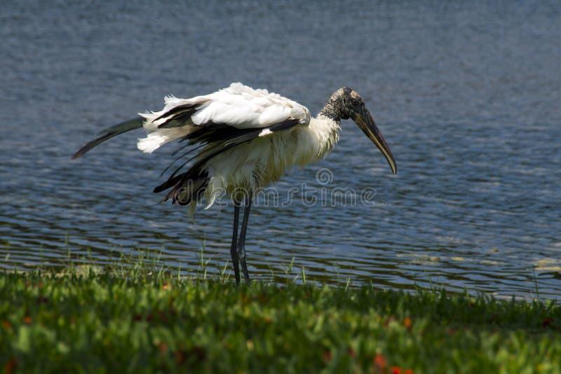 Wood stork, Mycteria americana royalty free stock photo
