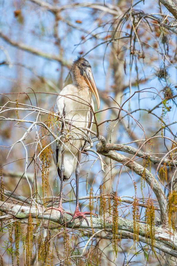 Wood stork perched on a tree in Big Cypress National Preserve.Florida.USA stock photo