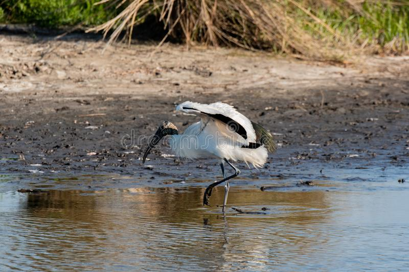 A Wood Stork Searching For Food stock images