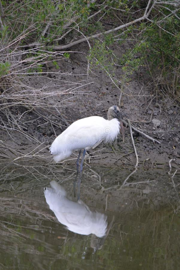 A wood stork stalks its prey along the Amelia Island marsh land. The wood stork is a large American wading bird in the stork family Ciconiidae. It was formerly royalty free stock image