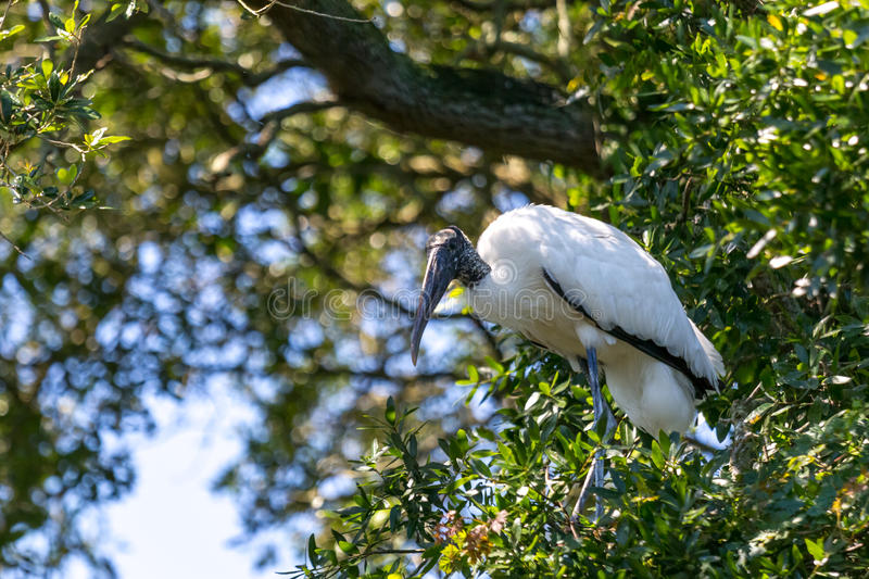 Wood Stork in a Tree stock photography