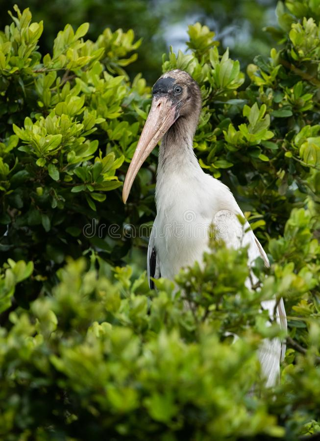 Wood Stork in the tree stock photo