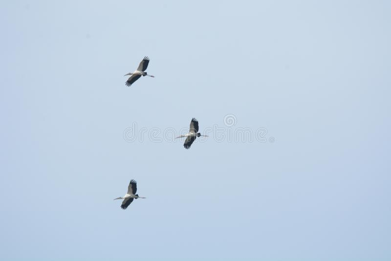 Wood Storks fly information above the island marsh stock photos