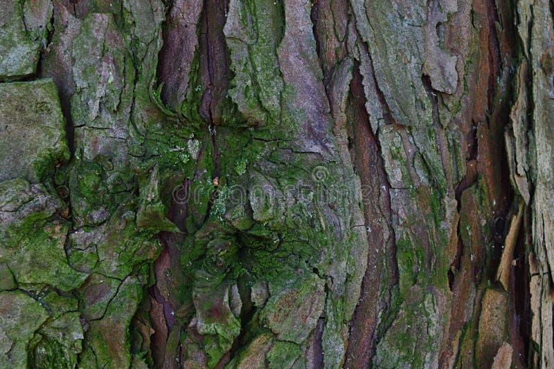 Wood textur för skäll av den barrträds- vintergröna calocedrusen Decurrens som för trädrökelsecederträ täckas litet med mossa royaltyfri fotografi