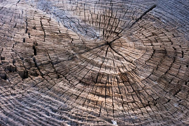 Texture Wood cut tree trunk for background royalty free stock photo