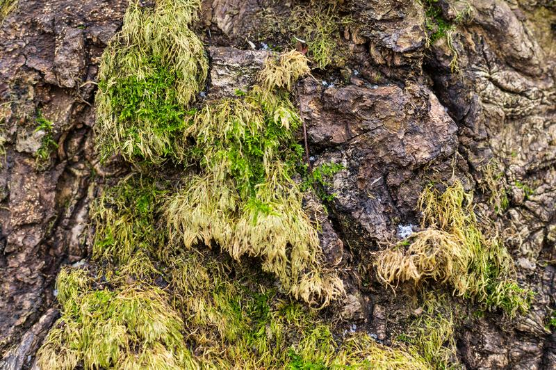 Wood texture with moss . royalty free stock photos