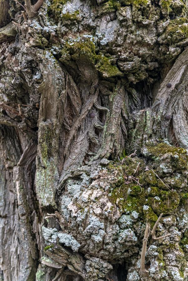 The wood texture. Photo of old tree in polish forest royalty free stock images