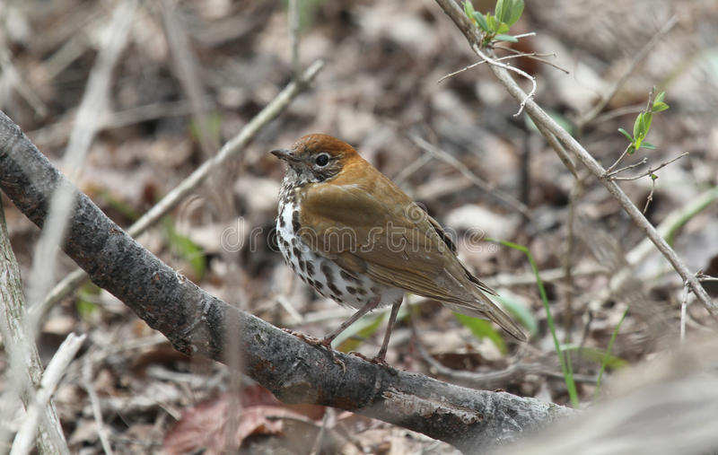 Wood thrush. (Hylocichla mustelina) perched on a branch in the forest stock photos
