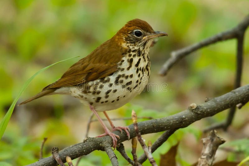 Wood Thrush. Perched on a branch stock image