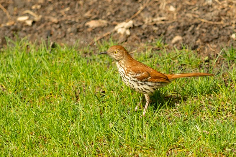 A Wood Thrush stands looking for food stock image
